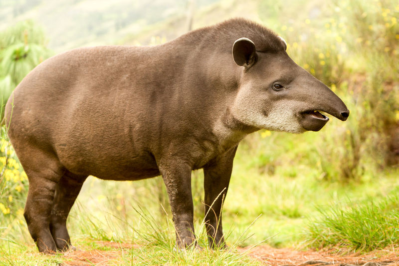 The tapir, like this one from Ecuador, is a close relative to the rhinoceros. Image:  ©Ammit⎮Dreamstime.com