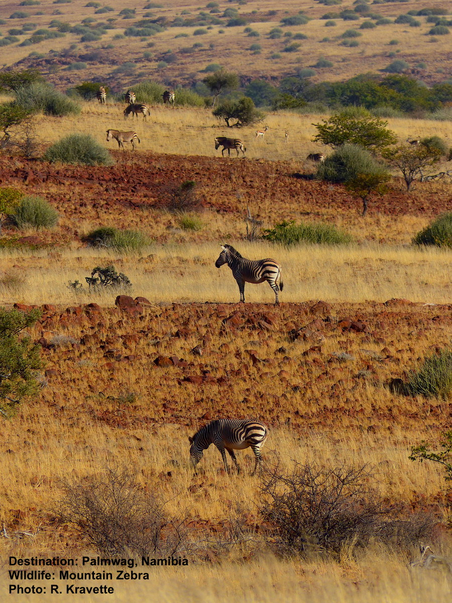 Early one morning we stood on a hill top and watched the valley fill up with mountain zebras. Image: ©R. Kravette Destination: Near the Palmwag Lodge, Damaraland, Namibia