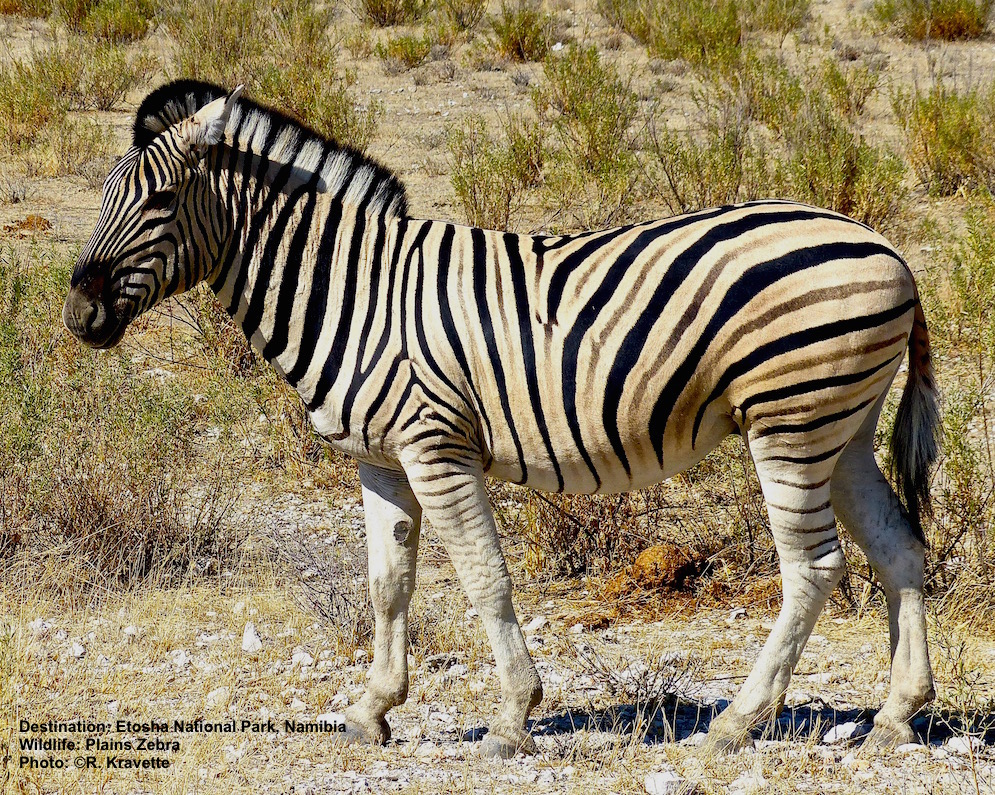 """When zebras sleep or rest on the ground, they fold their legs under them - a special callous called a """"chestnut"""" has evolved on the upper inside part of their leg to protect their skin from being cut by sharp hooves. Plains zebra Image: ©R. Kravette"""