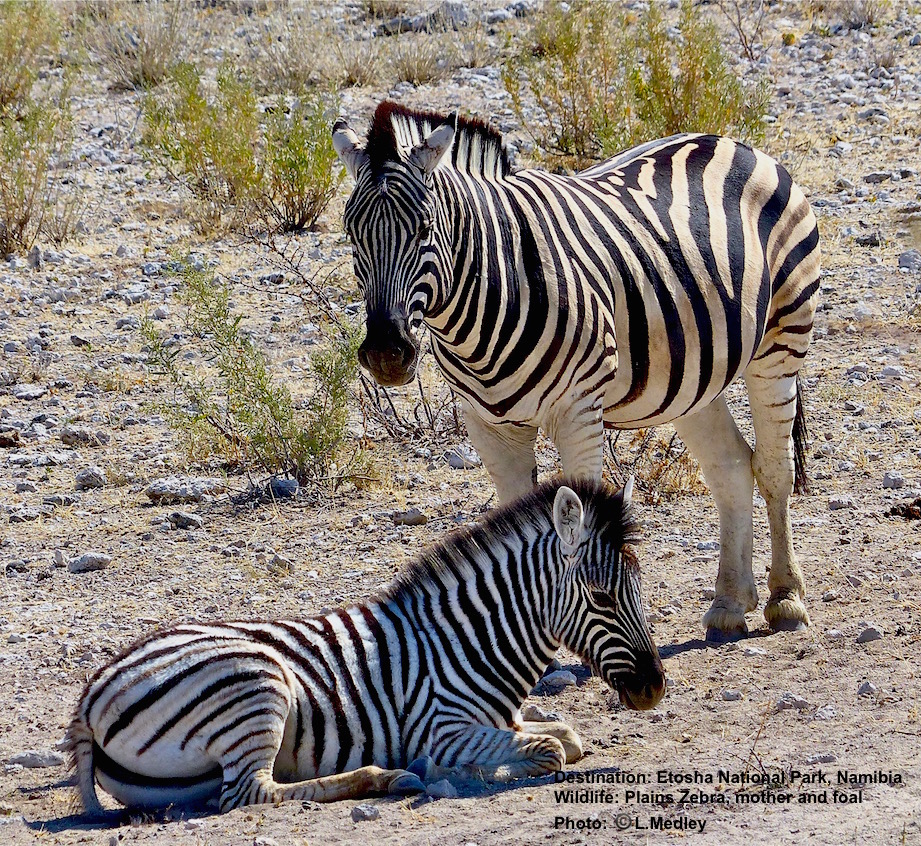 Young zebras are kept away from other herd members for a few days after they are born. Image: ©L. Medley Destination: Etosha National Park, Namibia
