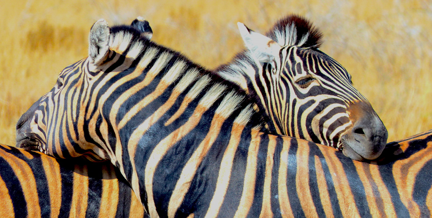 Zebras like to rest their heads on each other neck's maybe to keep watch in both directions. They aso like to roll around in the dust - in this case giving their white sections a distinctly red hue. Image: ©L. Medley Destination: Etosha National Park, Namibia