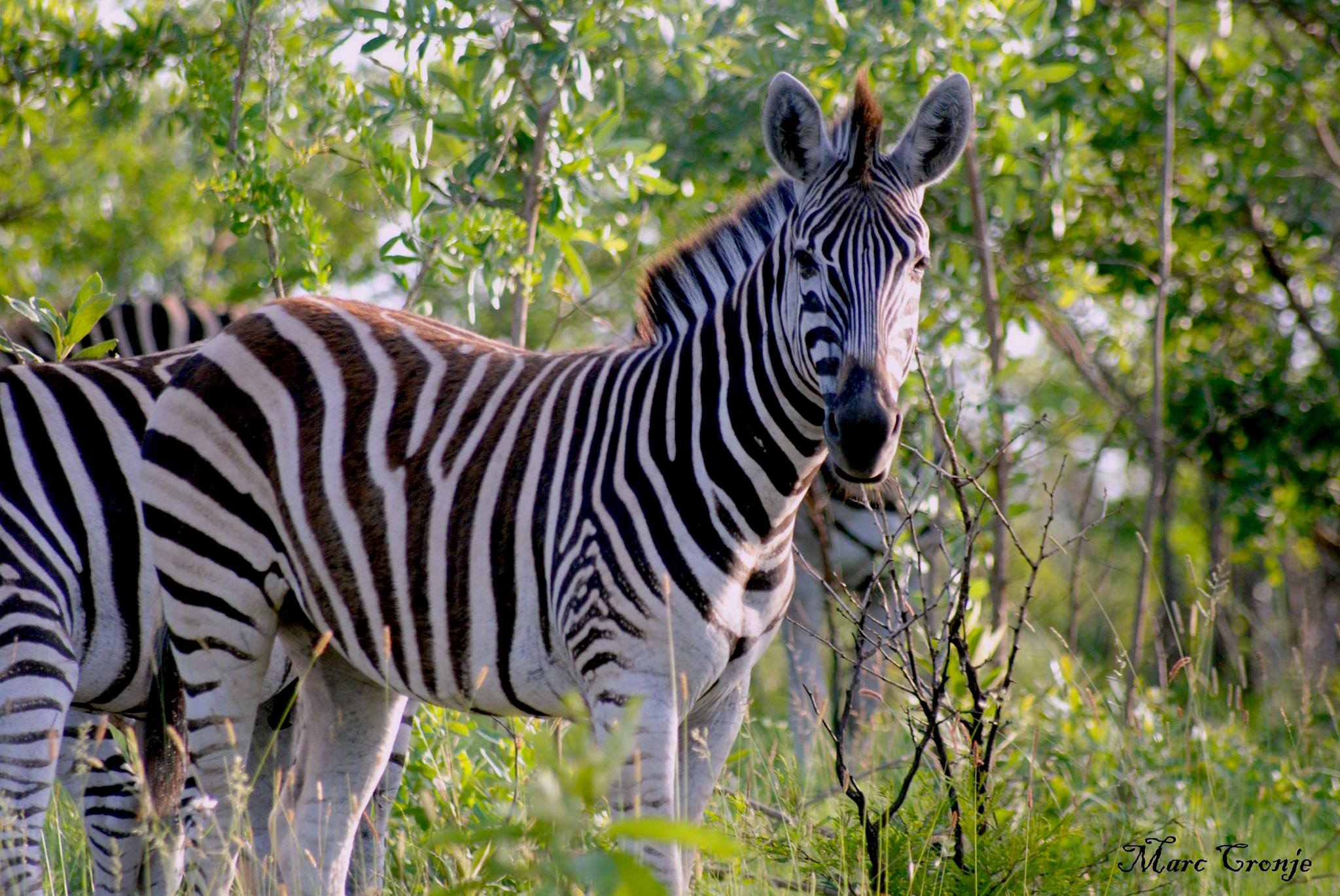 """Zebras communicate with an almost """"barking"""" sound. Plains zebra, Image: ©Marc Cronje, Independent Field guide, African wildlife specialist."""