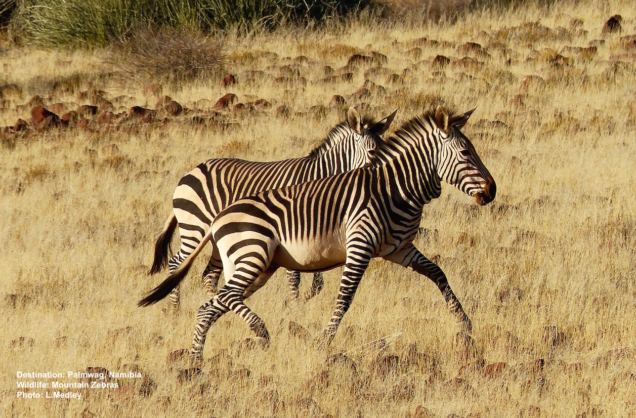 Mountain zebra trotting over the rocky, dry ground near the Palmwag Lodge in Damaraland, Namibia. Image: ©L. Medley