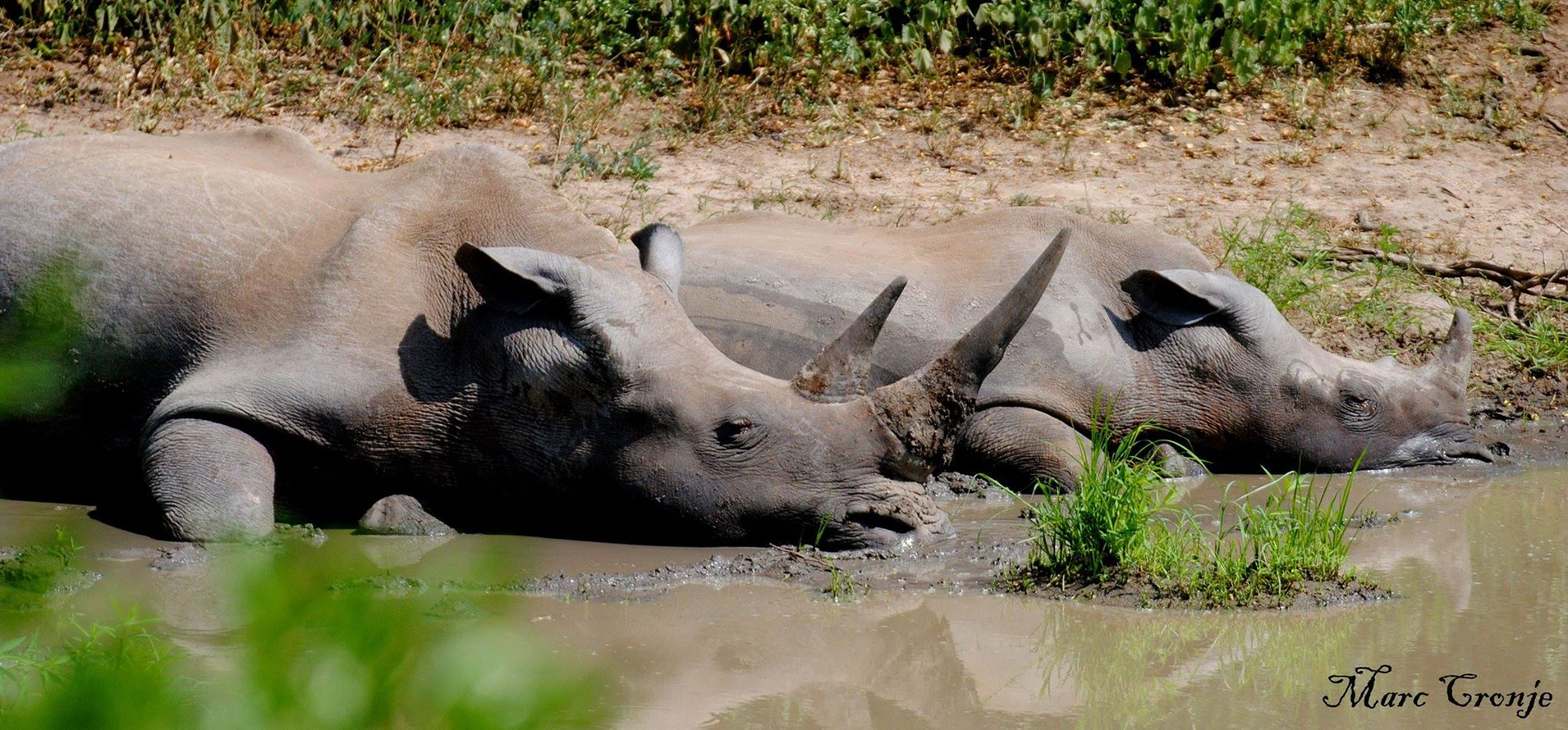 A white rhino mother showing her baby some of the finer things in life - like napping in a cool mud hole on Kruger National Park, South Africa. Image: ©Marc Cronje Independent Field Guide. Kruger Park, South Africa