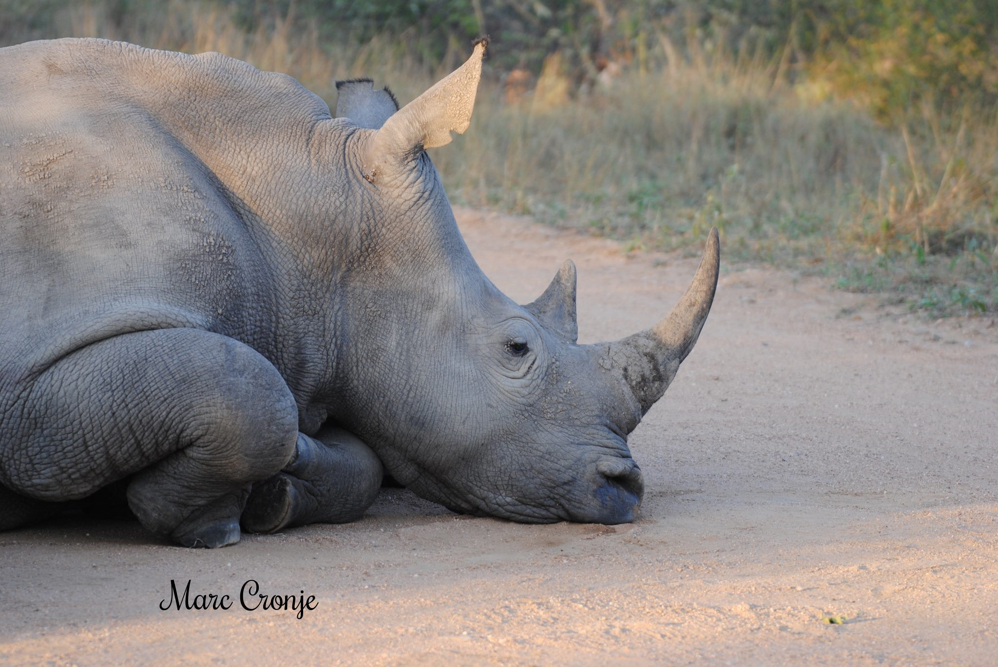 This white rhino is perfectly healthy - just napping in the mid-day sun. Note his front legs curled under, the back legs will be in the same position. Image: ©Marc Cronje, Independent Field Guide. Destination: Kruger Park, South Africa