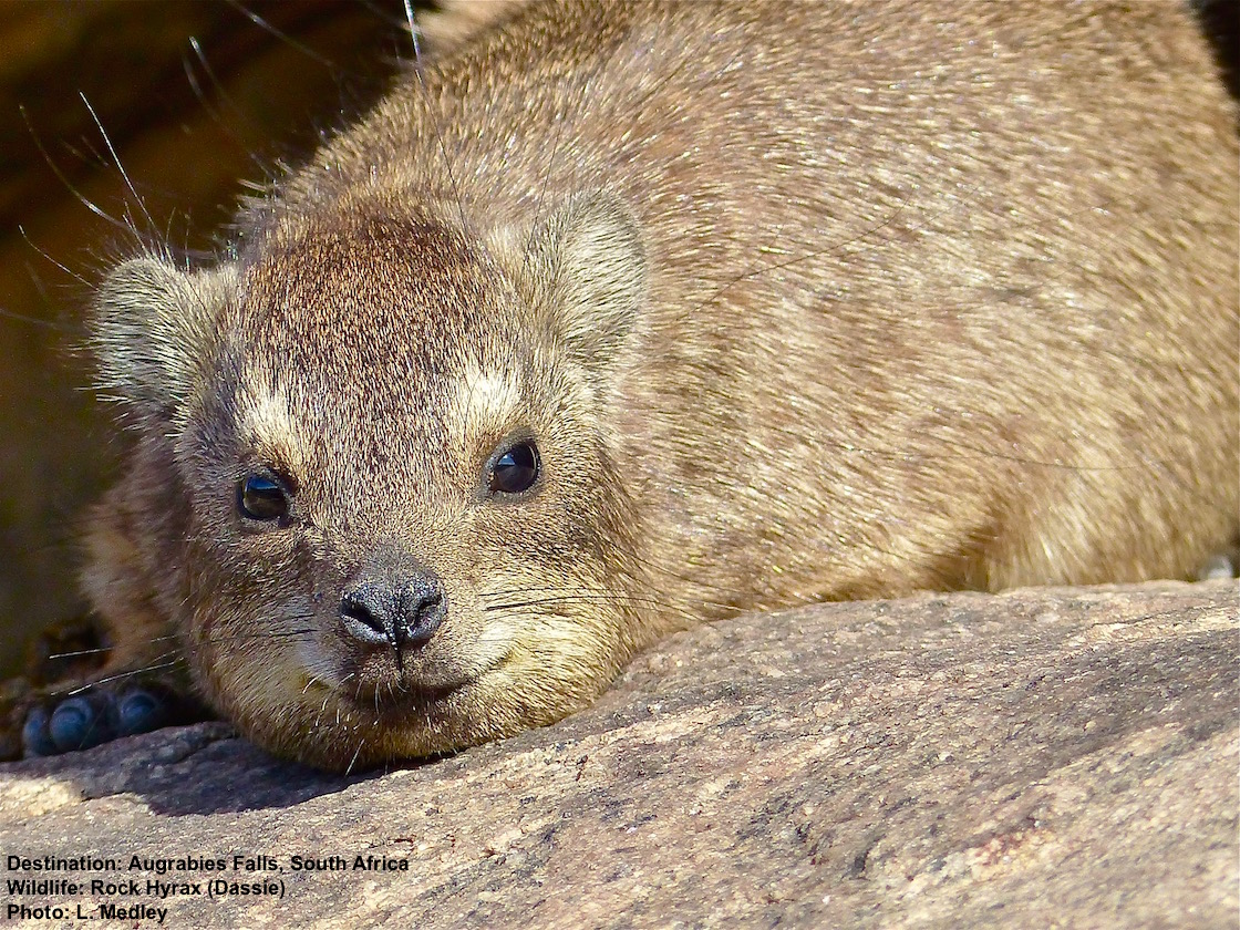 The boardwalk (wheelchair accessible) along the Falls is a perfect place to watch rock hyrax families. They are completely relaxed and ready for their close-up. Photo: ©L.Medley Destination:Augrabies Falls, South Africa