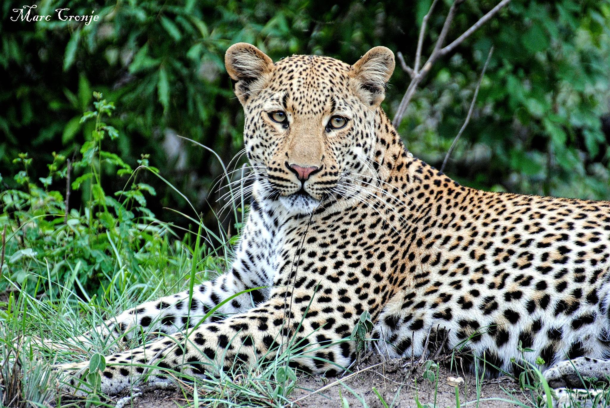 Leopard resting. Destination: Kruger National Park, South Africa. To the delight of his clients, Marc seems to have a sixth sense as to where to find these gorgeous cats. Photo:  ©MArc Cronje , Independent Field guide, African wildlife specialist.