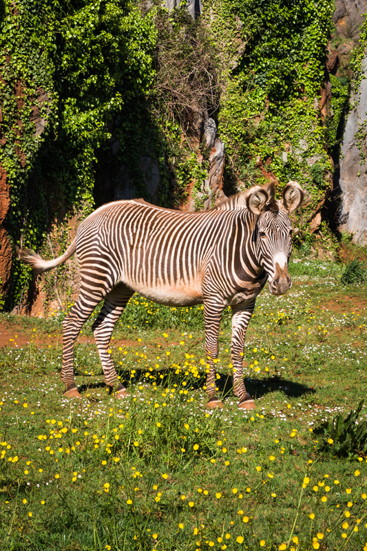 There may be fewer than 800 left, but the Grevy's Zebra Trust, working with partners like Lewa Wildlife Conservancy, is making sure this endangered species has a chance for survival. Destination: Samburu National Park, Kenya Image:  ©Perszing1982 ⎮Dreamstime.com