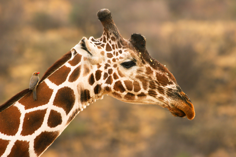 """In the Samburu District you may also see reticulated giraffes - We usually think of giraffes having 2 ossicones (horn made of cartilage) , but some may have as many as five. See: our    Wildlife Guide: Giraffe    for more .  This guy has a third ossicone between the eyes. The yellow """"dust"""" may be pollen from acacia flowers. The bird is a red-billed oxpecker looking for ticks. Image:  ©Wrobel27 ⎮Dreamstime.com"""