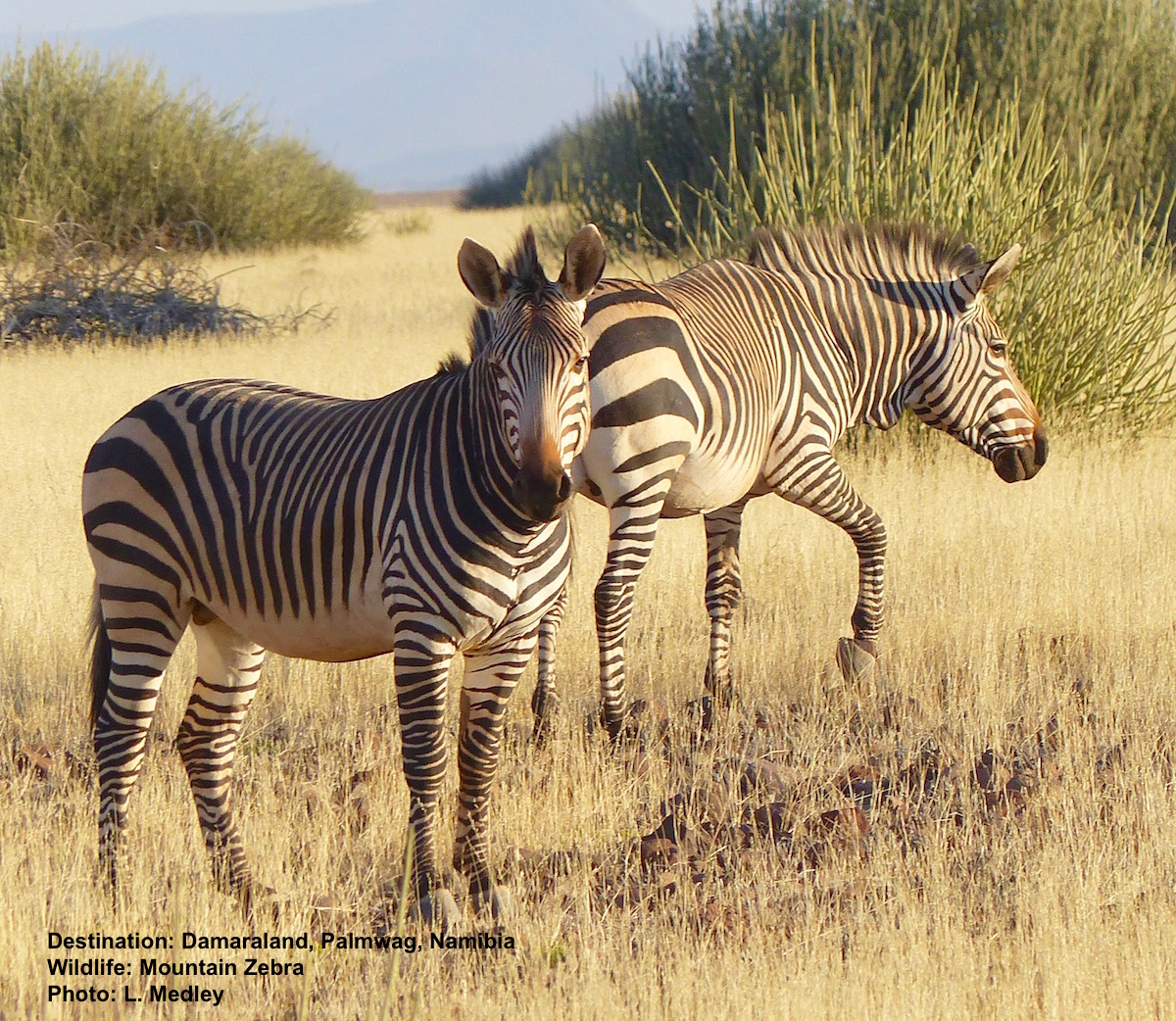 Mountain Zebra Identification: 1. White bellies are your first tip. 2. Look for single thin black stripe down middle. 3. Dewlap under the throat (only zebra species with this characteristic) 4. Very wide stripes across flank (Cape mountain zebra has widest rump stripes) 5. No shadow stripes between black. 6. Muzzle has a chestnut colored patch on top of black nose. 7. Leg stripes are pronounced all the way down to hooves (on plains zebras they fade out at the bottom) Destination: Palmwag Concession, Damaraland, Namibia Photo: ©L. Medley