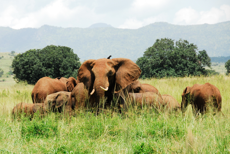 Elephants in the Kidepo Valley National Park. Image:  ©Albertoloyo ⎮Dreamstime.com