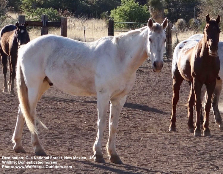 Zebras may look like horses in stripped pajamas but Equus caballus, like these domestic horses in New Mexico, are merely cousins, Image:  ©WolfHorse Outfitters , New Mexico, USA.