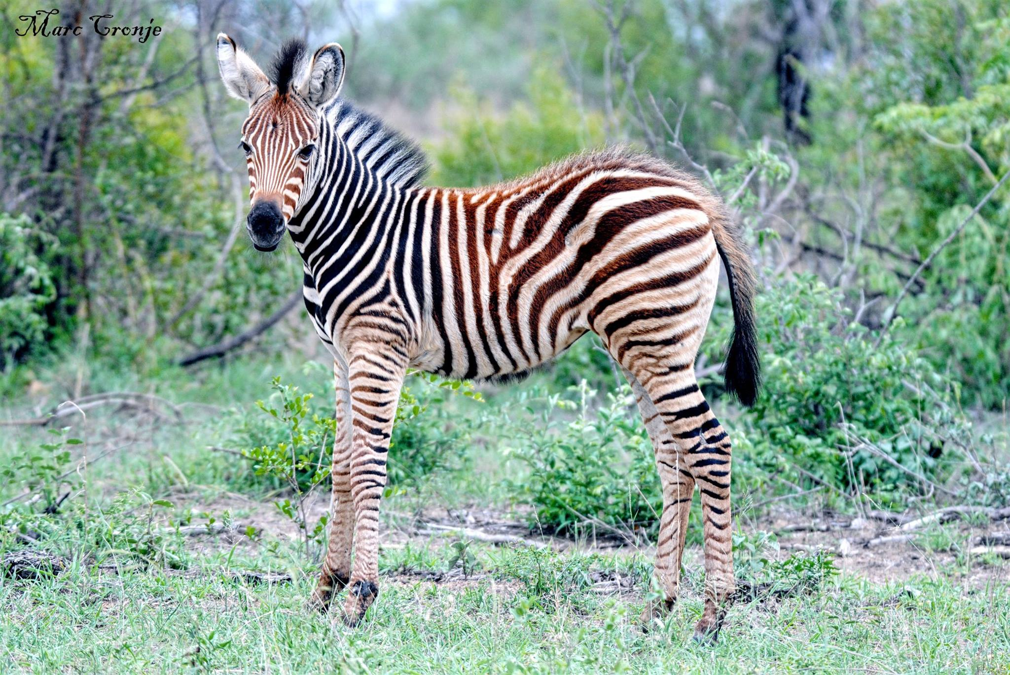 Plains zebra: Even on this young foal, the stripes around his belly are obvious, as are the shadow stripes between the black. Destination: Kruger National Park, South Africa. Image: ©Marc Cronje Independent Field Guide.