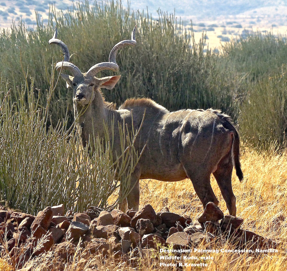 Kudu, like this big male are easy to spot at Palmwag. This guy had quite a harem nearby. Destination: Palmwag Lodge, Damaraland, Namibia. Image:© R. Kravette