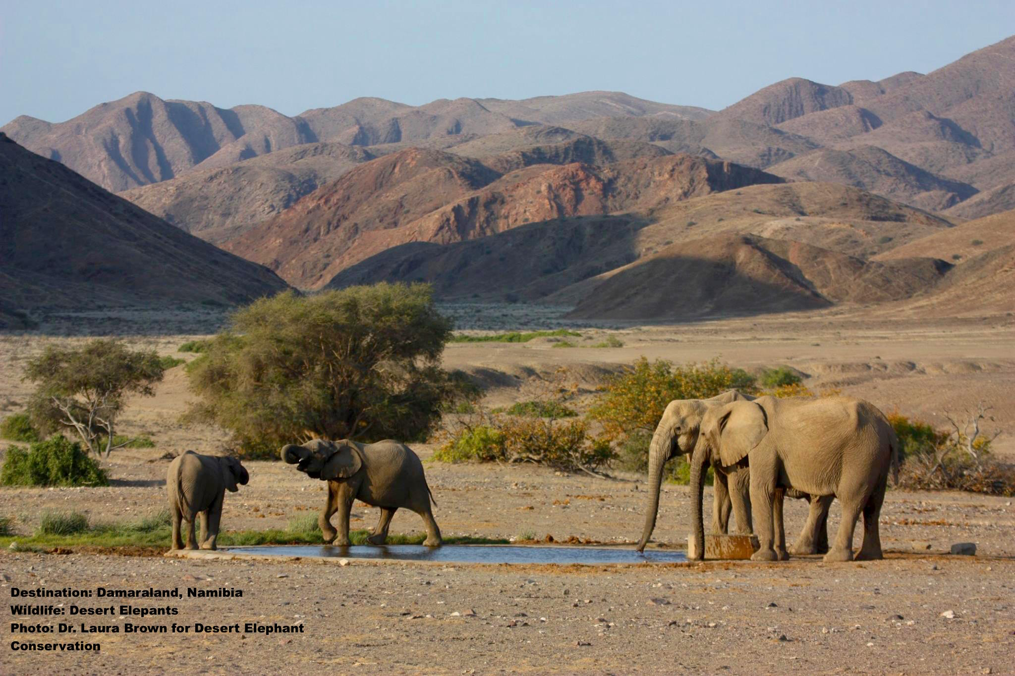 Rare desert waterhole. Loss of a matriarch is loss of memory & experience and that can mean death for the younger generations. Image: Dr. Laura Brown, desert Elephant Conservation.