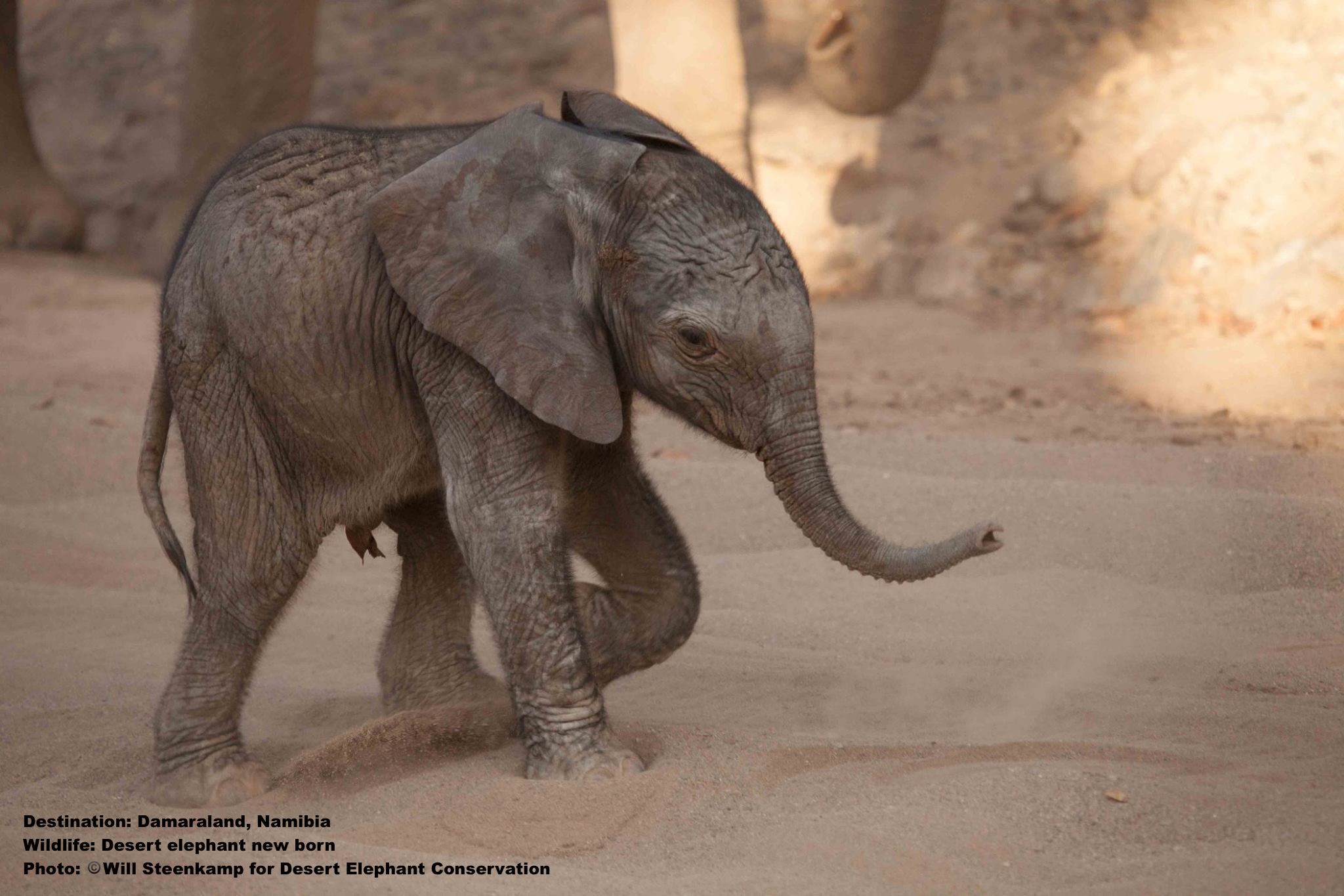 Hours old. harsh environmental conditions bring this desert elephant babie's chance of survival down to 50% of its savanna cousin's. Couple that with shrinking habitat and poaching and the babie's odds of growing old are not promising. Image: Thanks to Will Steenkamp, and  Desert Elephant Conservation .