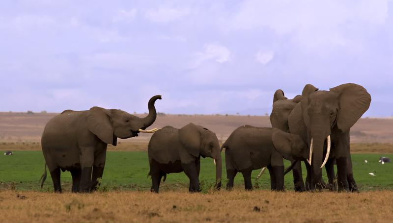 Elephant family with calves at Amboseli National Park, Kenya Image:    ©Stephanie Van Der Vinden⎮ Dreamstime. com