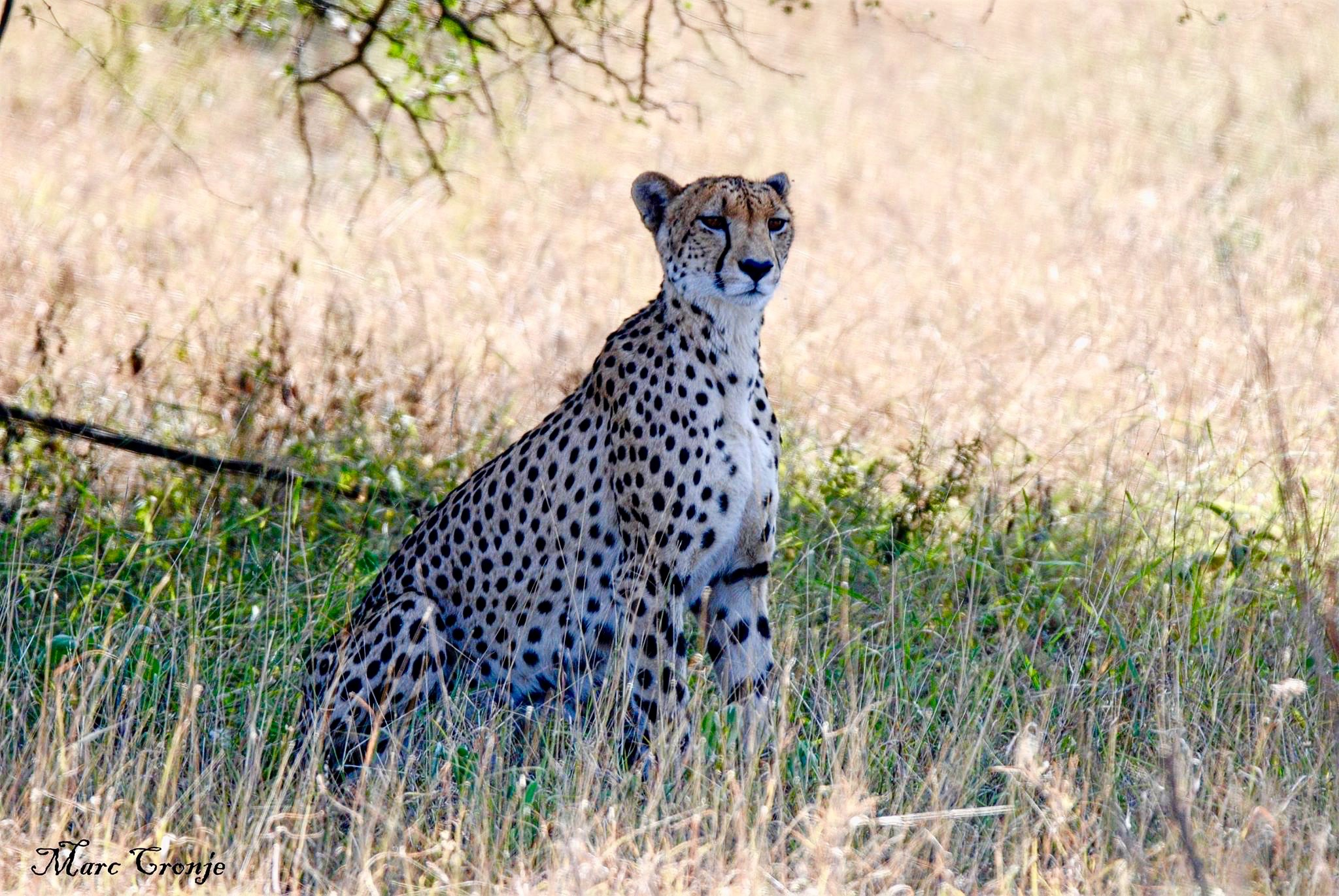 Cheetah mama 13235159_10209330157354536_1011689380703705845_o-2 (1).jpg