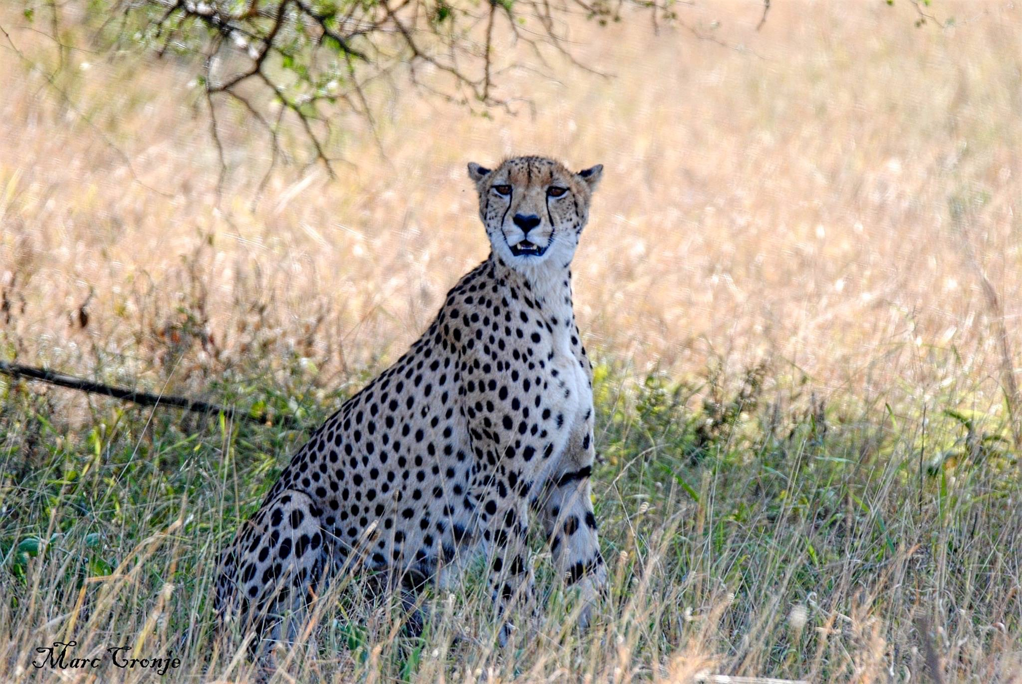 Cheetah mama 13268329_10209330157314535_3014862356576942076_o (2).jpg
