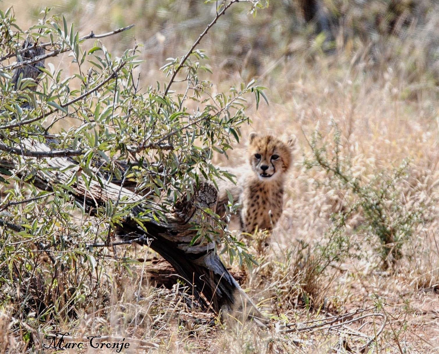 MC Cheetah cub 1 (1).jpg