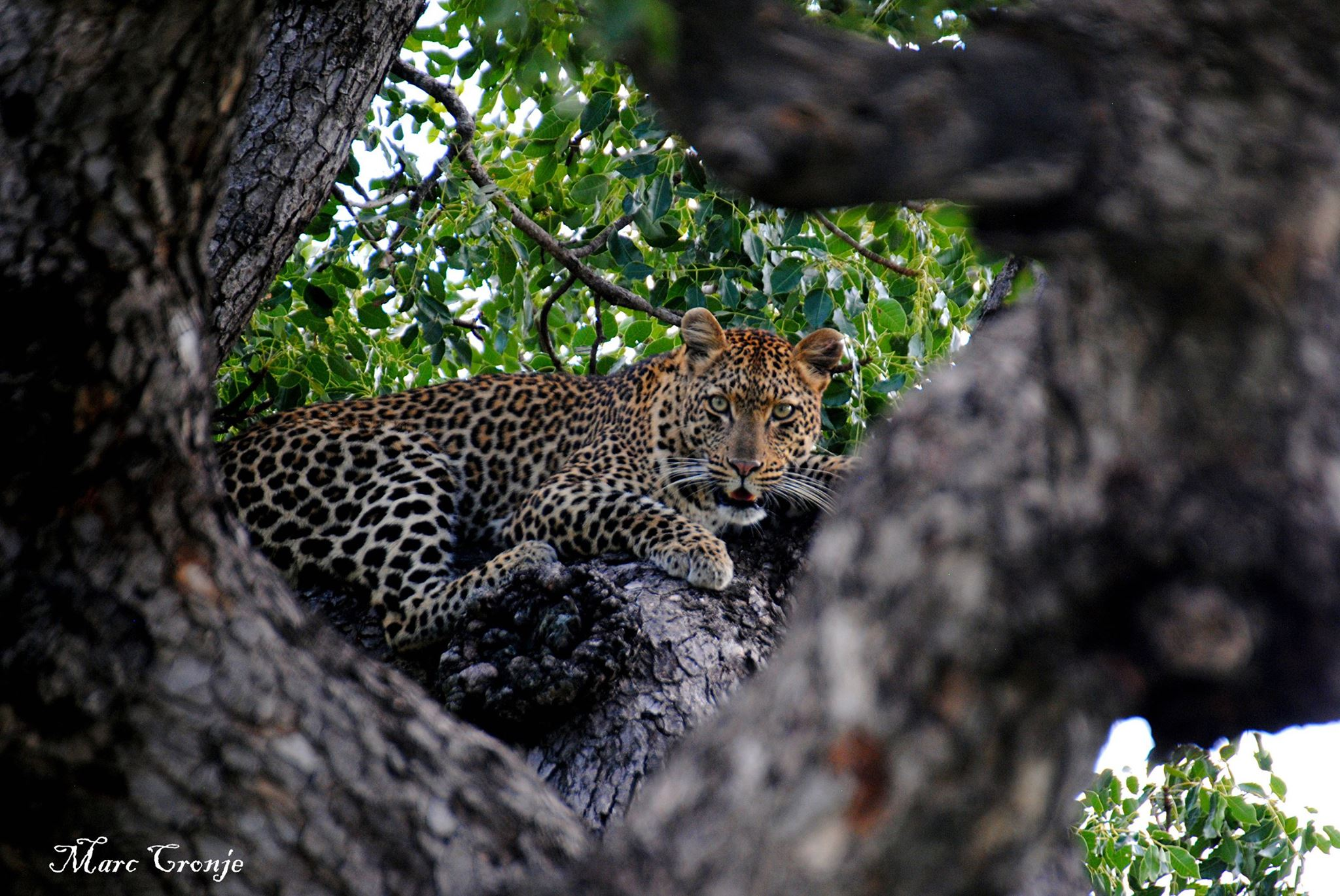 Field guides take wildlife tourists through the parks -  GREAT  field guides have a sixth sense about their world... For example: seeing a leopard where you just saw a tree. In Kruger National Park, South Africa. Image: Thanks to ©Marc Cronje, Independent Field Guide