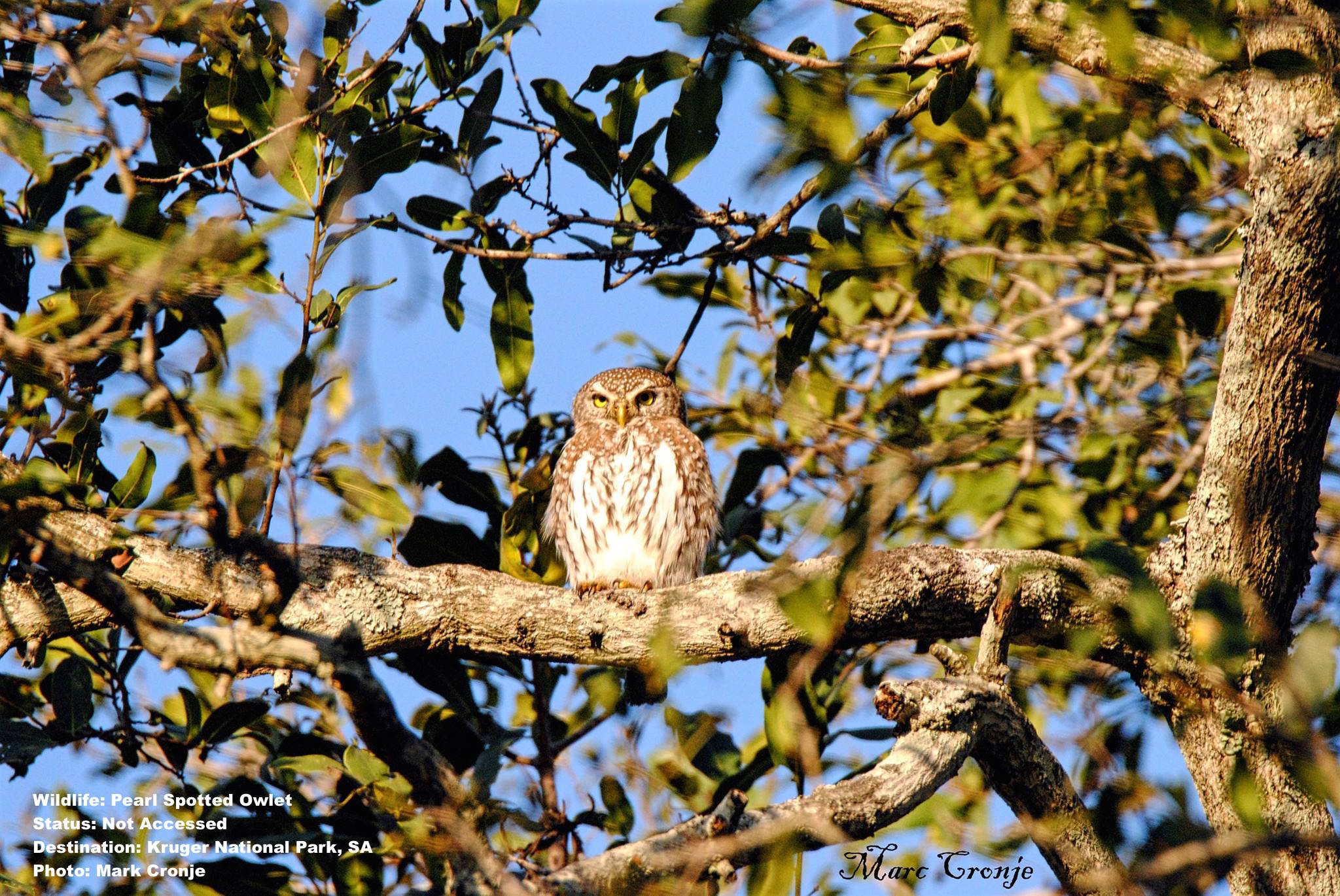 MC Pearl Spotted owlet 12440768_10209332215165980_7984159336206325429_o.jpg