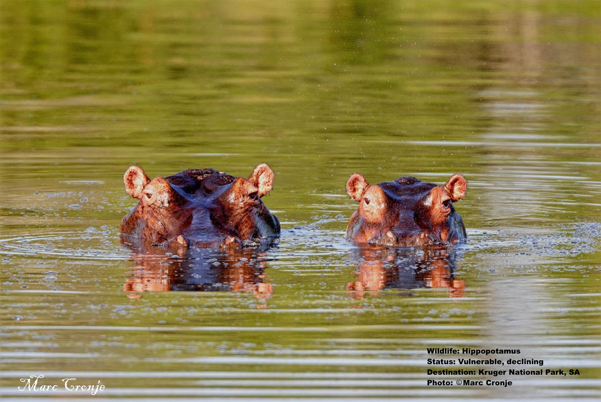 Hippos watch marc and his guests watch them at Kruger National Park, South Africa. Image: Marc Cronje. Independent Field Guide.