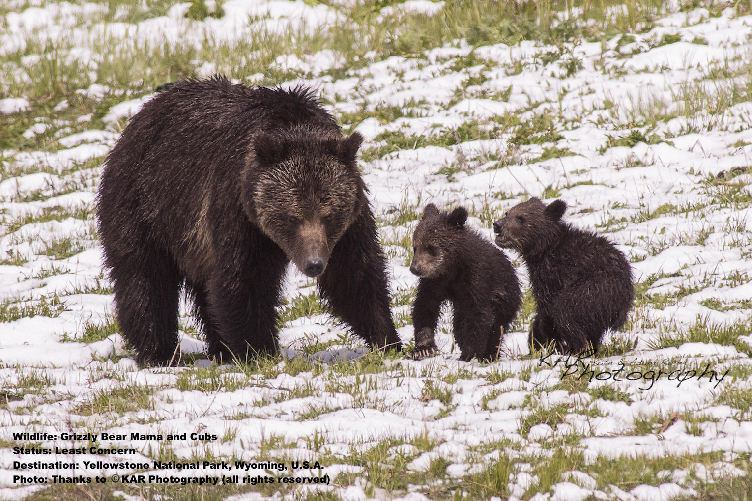 Grizzly bear mom and cubs usually hibernate in winter but in Yellowstone sometimes you can get lucky. Image:  Kate & Adam Rice, KAR photography