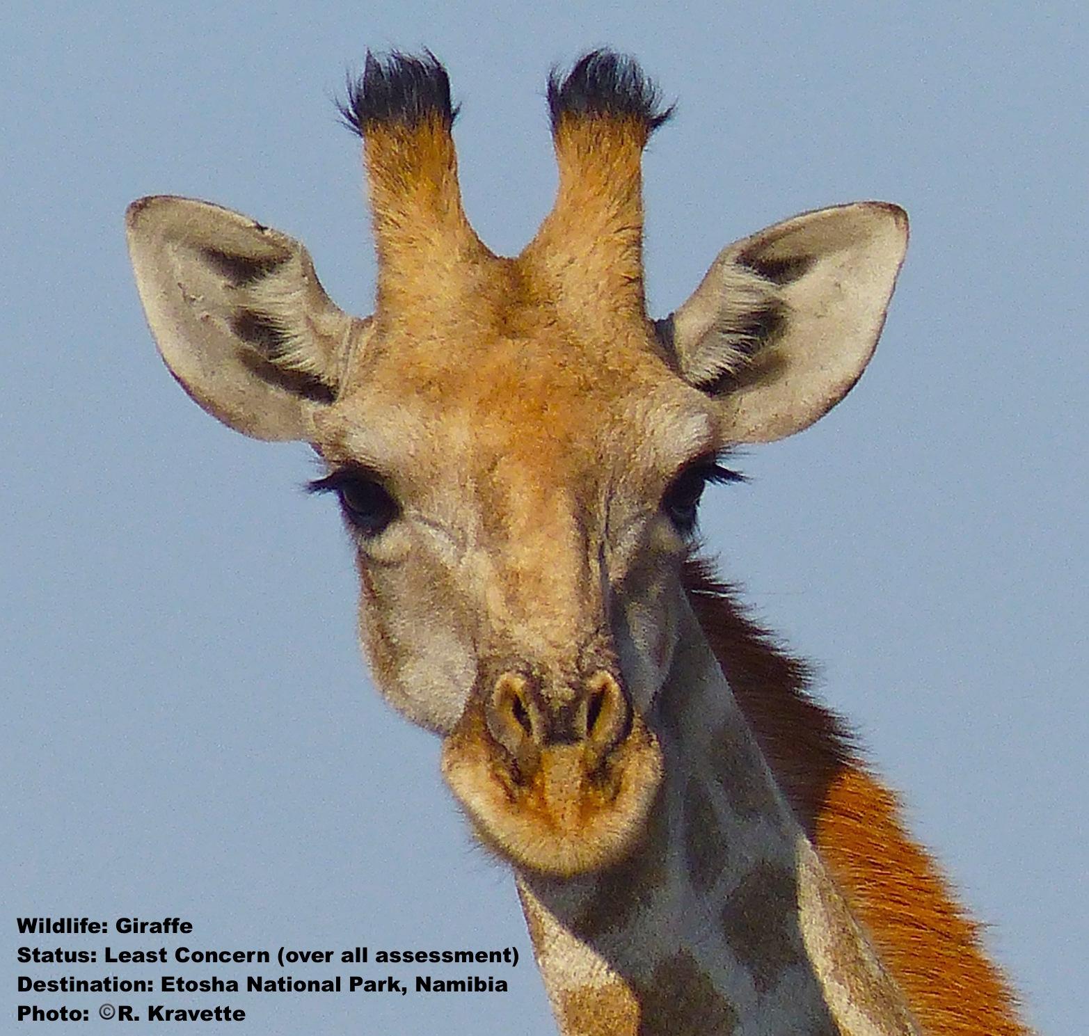 Giraffe_Etosha_Namibia.jpg