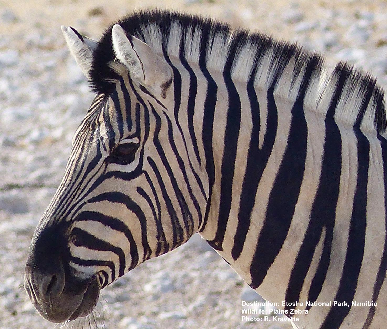 Plains_Zebra_Etosha_National_Park_Namibia