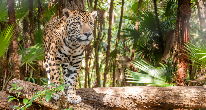 WHILE ON VACATION TO SWIM WITH WHALE SHARKS, TAKE TIME TO VISIT BELIZE'S LITTLE KNOWN RAINFORESTS, A CAT SPOTTER'S PARADISE. THIS RAINFOREST IS HOME TO 5 DIFFERENT SPECIES OF WILD CATS INCLUDING THIS JAGUAR ABOVE (IUNC: NEAR THREATENED,) AND PUMA, JAGUARUNDI, MARGAY (IUCN: NEAR THREATENED) AND OCELOT. IMAGE:  ©MILOSK50⎮DREAMSTIME.COM