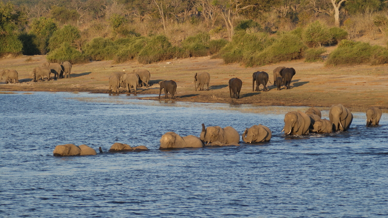 Chobe National Park is a wonderful place to see large herds of elephants exhibiting a wide range of behaviors, like these swimming across the river in the Savute Marsh area. Image:  © Aajiedejong⎮Dreamstime.com
