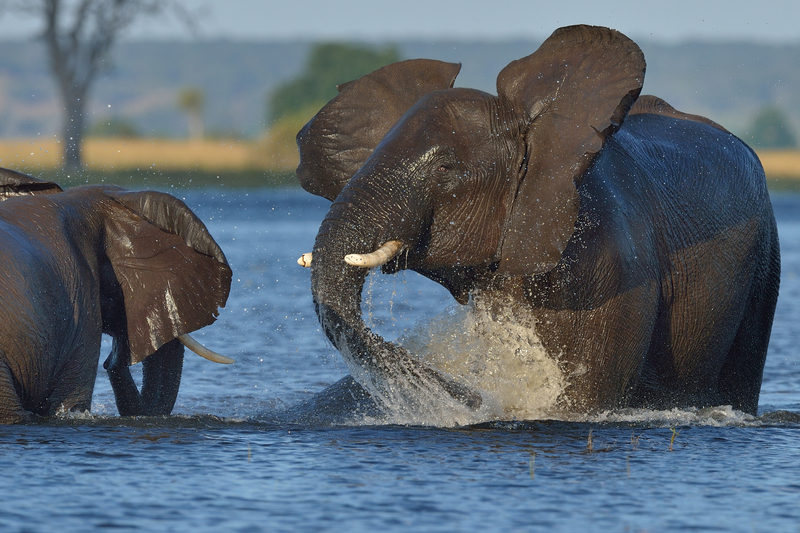 WHY CHOBE NATIONAL PARK? ELEPHANTS! THE LARGEST REMAINING HERDS IN THE WORLD. Image:  ©Tobie1953⎮Dreamstime.com
