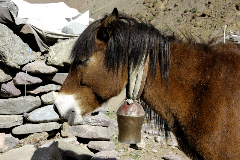 Villagers use their sure footed, altitude adapted horses to transport all manner of supplies to their mountain villages. Image:  ©Tichonj⎮Dreamstime.com