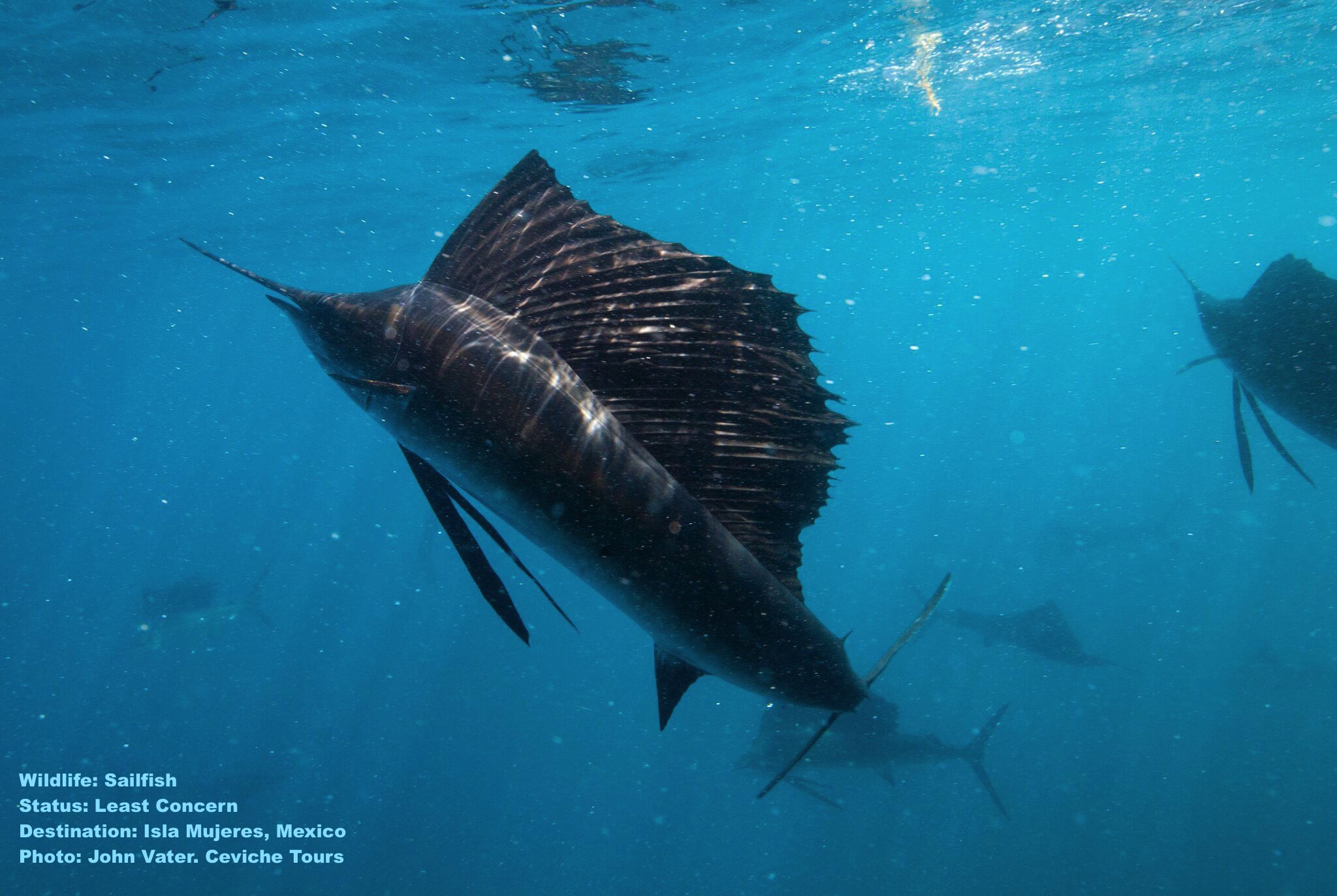 Swimming with sailfish. Why not, asks John Vater of Ceviche Tours. Experience it for yourself! Image: Thanks to John Vater & Ceviche Tours, Isla Mujeres, Mexico.