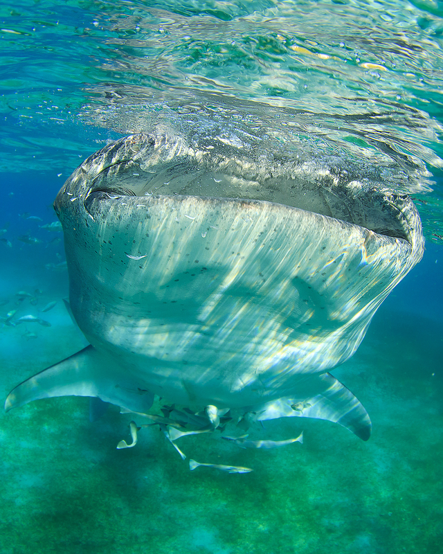 The whale shark's 5-foot (1.5m) mouth looks frightening, but they are gentle krill eaters - not man-eaters. Swimming with them is the experience of a lifetime. Image:  ©Richcareyzim⎮Dreamstime.com