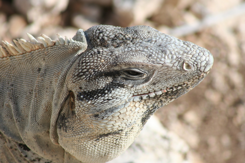 Isla Mujeres' ubiquitous Mexican spiny tailed iguana. Do not feed them; they become aggressive beggers. Image:  ©Timothy Kirk⎮Dreamstime.com