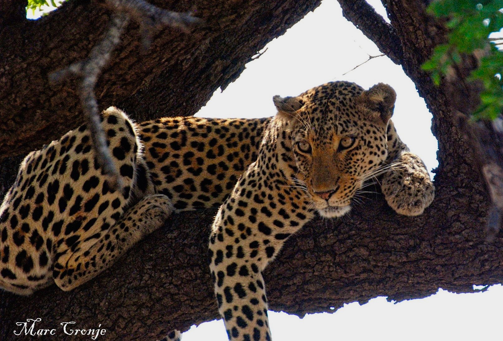 Kruger National Park has one of the largest populations of leopard anywhere in the world, like this one, watching Marc's guests watch it. Image: ©Marc Cronje, Independent Field Guide, Kruger NAtional Park