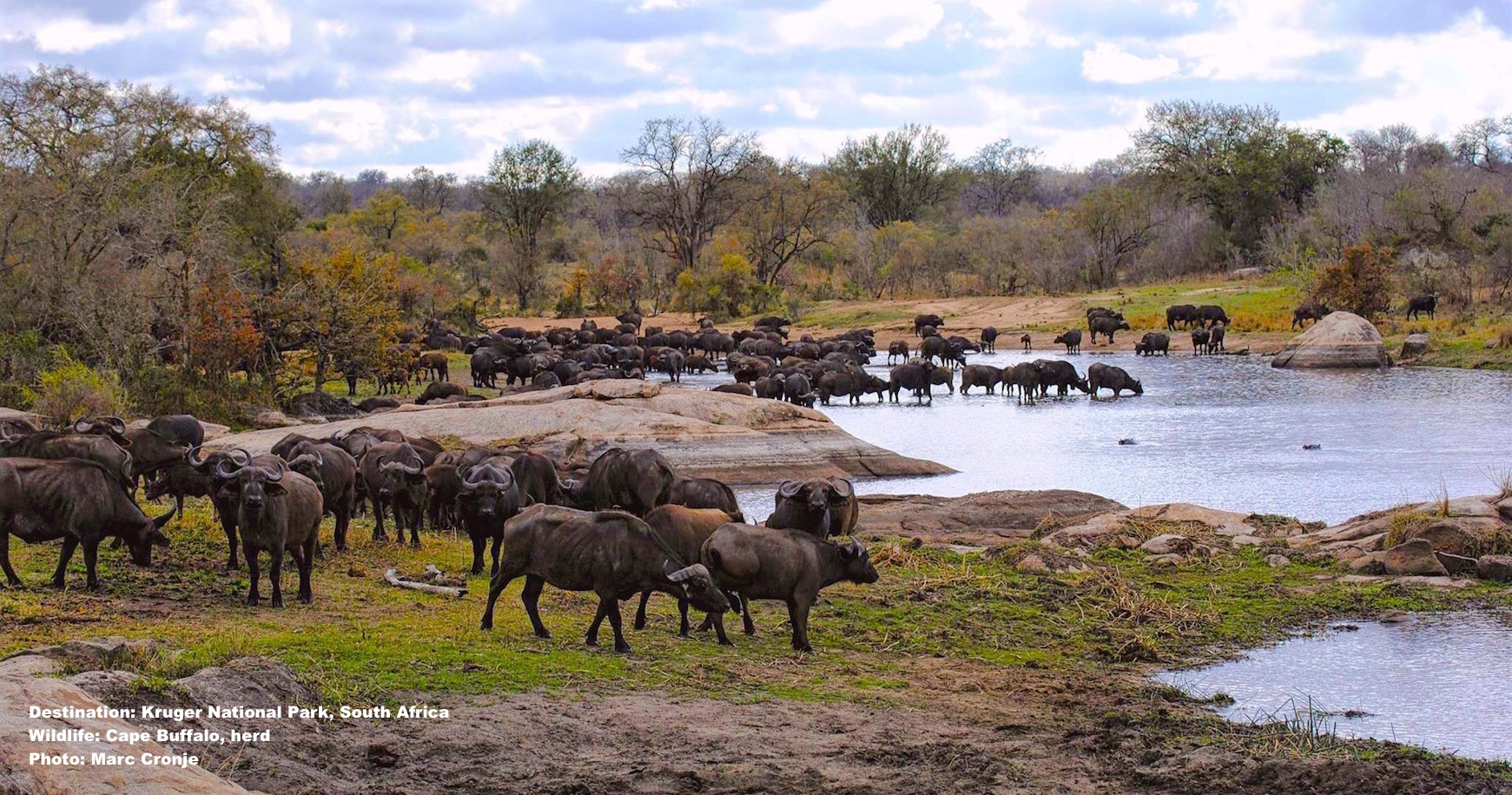 You will see Cape buffalo in large herds in Kruger, but be aware! These guys have no sense of humor. Image: Marc Cronje, Independent Field Guide