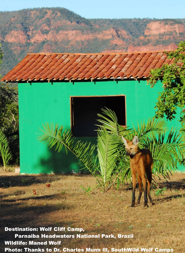 MANED WOLVES COME RIGHT INTO THE WOLF CLIFFS CAMP AT PARNAIBA HEADWATERS NATIONAL PARK, BRAZIL. PHOTO: DR. CHARLES A MUNN & SOUTHWILD WOLF CAMPS.