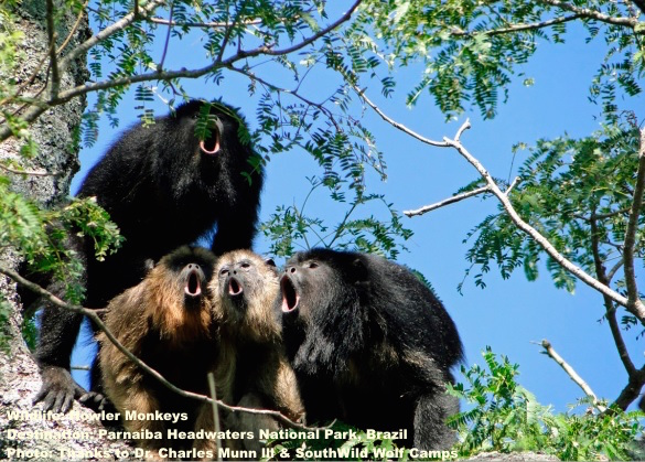 A CHORUS OF HOWLER MONKEYS IN PARNAIBA HEADWATERS NATIONAL PARK, BRAZIL. PHOTO: CHARLES A. MUNN III AND SOUTHWILD WOLF CAMPS