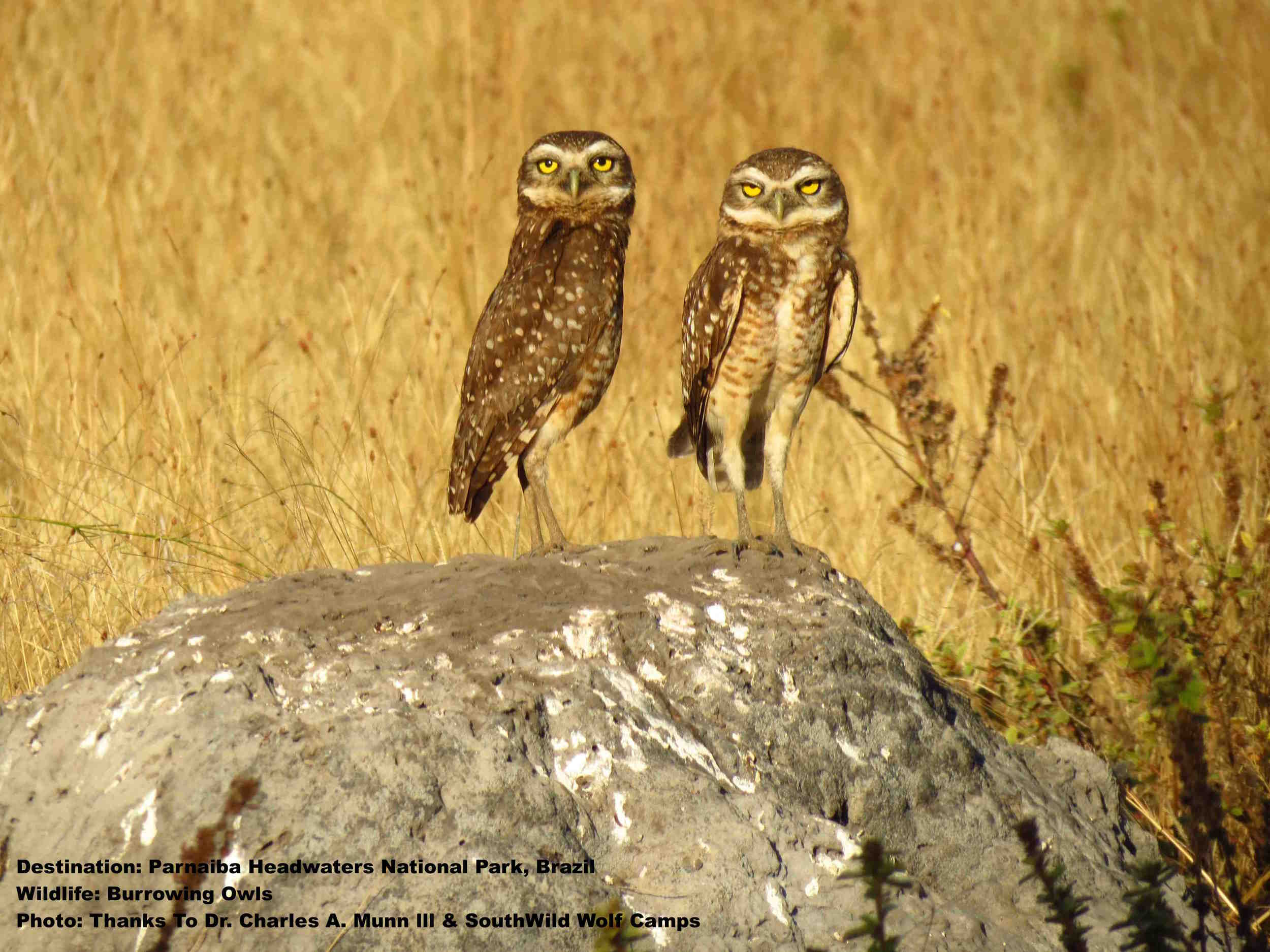 BE WISE! ALWYS DO YOUR VISA, VACCINATION, AND BEST PRACTICES RESEARCH PRIOR TO FINALIZING TRAVEL PLANS. BURROWING OWLS AT PARNAIBA HEADWATERS NATIONAL PARK. PHOTO: DR. CHARLES A. MUNN III AND SOUTHWILD WOLF CAMPS.