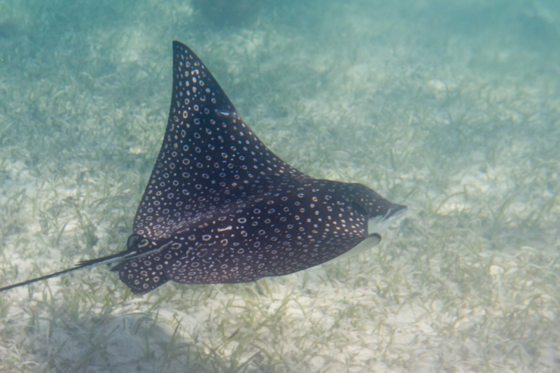 SPOTTED STINGRAY IS ONE OF THE RAY SPECIES FOUND IN BELIZE'S REEF IMAGE:  © WOLLERTZ⎮DREAMSTIME.COM