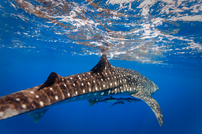 HUGE NUMBERS OF SPAWNING FISH BRING WHALE SHARKS TO GLADDEN SPIT AND SILK CAYES RESERVE FROM MARCH TO JUNE. IMAGE:  ©PNEISEN⎮DREAMSTIME.COM