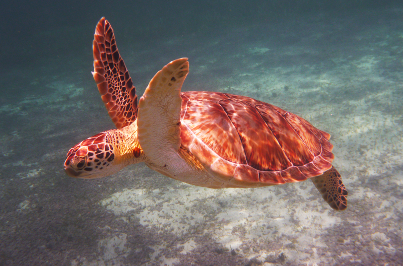 THE CRITICALLY ENDANGERED HAWKSBILL IS ONE OF FOUR TURTLE SPECIES IN THE WATERS OFF THE ISLANDS OF THE SILK CAYES.  ©ZHUKOVSKY⎮DREAMSTIME.COM