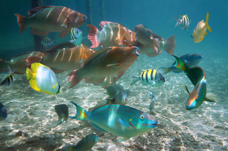 FISH GATHER AT GLADDEN SPIT & SILK CAYES MARINE PRESERVE TO SPAWN  ©SEAPHOTART⎮DREAMSTIME.COM