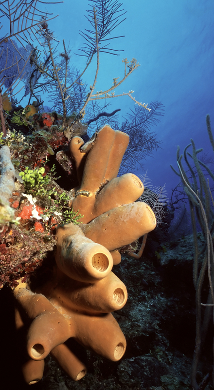 BELIZE'S CORAL REEFS REVEAL A WORLD OF COLOR AND LIFE.  ©DSABO⎮DREAMSTIME.COM