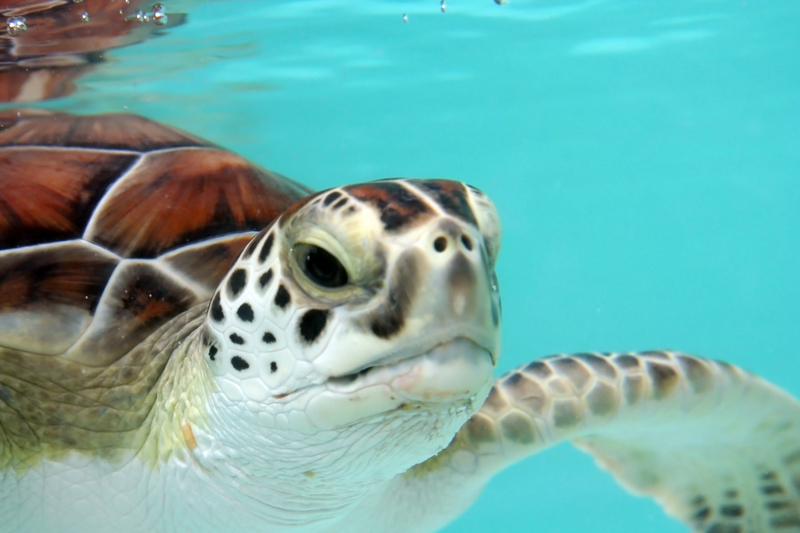 LOGGERHEAD TURTLES LIKE THIS ONE FREQUENT THE REEFS AND BEACHES OF GLADDEN SPIT & SILK CAYES MARINE RESERVE. IMAGE:  ©GVISION ⎮DREAMSTIME.COM