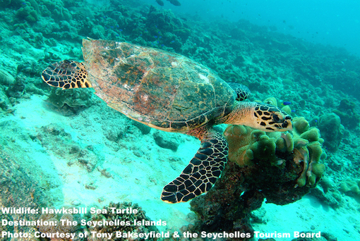 Both hawksbill, like this handsome guy, and green sea turtles nest on the Seychelles islands. Image thanks to ©The Seychelles Tourism Board