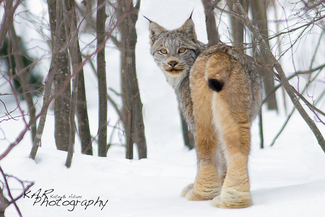Infinite patience, even in sub zero weather, is a necessity for a wildlife photographer. It paid off with this image of the elusive and rare Canadian Lynx. Image: Thanks to © KAR Photography.